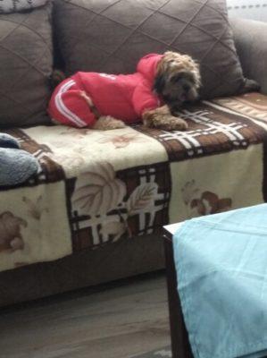 Modny dresowy kombinezon dla psa ADIDOG photo review